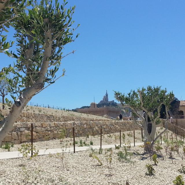 Mucem à Marseille, détail sur les oliviers de la place d'Armes