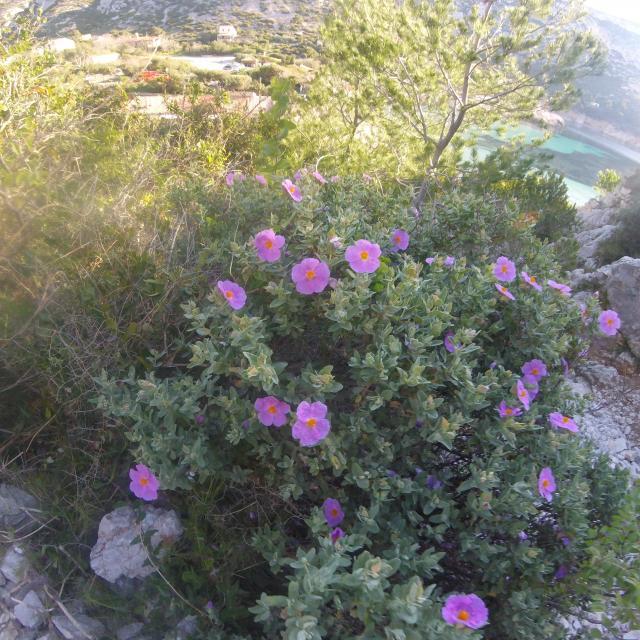 Fleurs violettes, végétation dans la Calanque de Sormiou