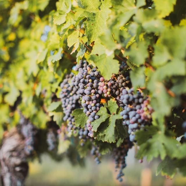 Grappes de raisin rouge sur une vigne