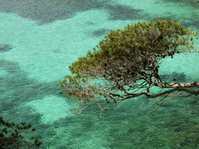 Eau turquoide dans les calanque de marseille et pin qui surplombe l'eau